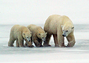 Mother Polar bear (Ursus maritimus) with her cubs walking on ice near Churchill, Manitoba, Canada. / ©: David Jenkins / WWF-Canada