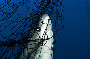 Thresher shark (Alopias vulpinus) caught in gill net, Gulf of California, Mexico. / &copy;: Brian J. Skerry / National Geographic Stock / WWF