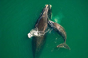Northern right whale mother &amp; calf off the Atlantic coast of Florida.  / &copy;: Brian J. Skerry / National Geographic Stock / WWF