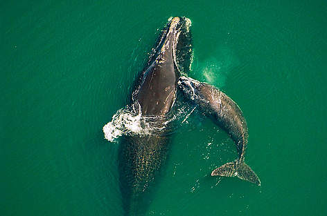 Northern right whale mother & calf off the Atlantic coast of Florida.  rel=