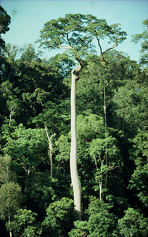 Tree emerging from tropical rainforest. Gunung Leuser National Park, Sumatra, Indonesia.  / ©: Alain Compost / WWF-Canon