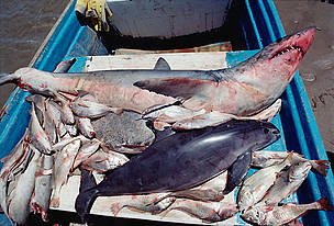 Vaquita or Gulf of California Harbor Porpoise (Phocoena sinus) caught in gill net for sharks and ... / &copy;: National Geographic Stock/Flip Nicklin/Minden Pictures / WWF