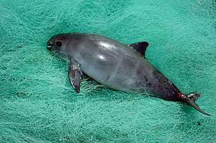 Vaquita or Gulf of California Harbor porpoise (Phocoena sinus) caught in fishing nets, Baja California, Mexico.