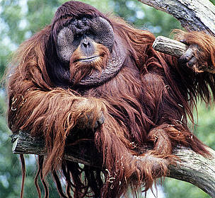 Male Bornean Orang-utan (Pongo pygmaeus) / ©: David Lawson / WWF-UK