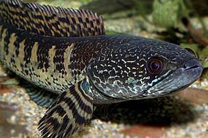 Orange-spotted snakehead (Channa aurantimaculata), endemic to the forest streams, ponds, and swamps adjacent to the Brahmaputra river in the subtropical rainforest of northern Assam. The species is remarkably striking, with a vibrant pattern of purple and orange adorning the length of its body. Discovered in 2000, and measuring up to 40cm in length, the fish is also known as the orange-spotted snakehead, as its head looks like that of a snake. It is carnivorous and predatory, enjoying a diet of smaller fish and invertebrates.