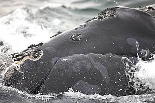 North Atlantic right whale (Eubalaena glacialis) off Grand Manan Island, Bay of Fundy, New ... / ©: Barrett & MacKay / WWF-Canada