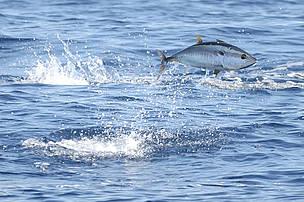 Organizacije za očuvanje prirode širom svijeta pozivaju ICCAT da ne poveća kvote za ulov ... / ©: Frédéric BASSEMAYOUSSE / WWF Mediterranean