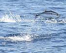 Atlantic bluefin tuna (Thunnus thynnus) feeding in the Mediterranean Sea