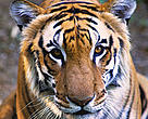 Tiger (Panthera tigris). India.