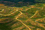 Aerial view of palm oil plantation on deforested land, Sabah, Borneo, Malaysia © naturepl.com/Juan Carlos Munoz / WWF