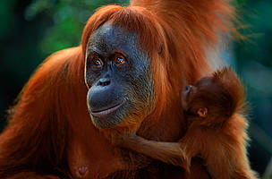 Sumatran orang utan (Pongo abelii) female 'Suma' reunited with male baby 'Forester' (part of baby ... / ©: naturepl.com/Anup Shah / WWF
