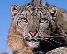 Snow leopard portrait (Panthera uncia)