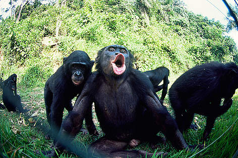 Banobo Bonobo Conservation