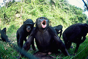 Juvenile bonobo (Pan paniscus) reacting to photographer blowing through the fence. Lola Ya Bonobo ... / ©: naturepl.com/Karl Ammann / WWF