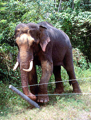 Indian elephant (Elephas maximus) pushing down fence, Sri Lanka. / ©: naturepl.com/Toby Sinclair / WWF