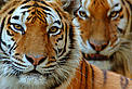 Two Siberian tigers (Panthera tigris altaica) / &copy;: naturepl.com /Edwin Giesbers / WWF