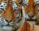 Two Siberian tigers (Panthera tigris altaica)