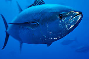 Atlantska plavoperjana tuna (Thunnus thynnus) na Malti