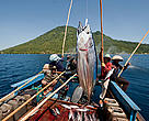 Funae fishermen catching skipjack tuna near Manado Tua using anchovies as live bait. 