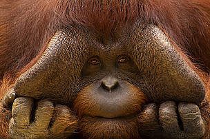 Close up face portrait of male orang utan (Pongo pygmaeus) / &copy;: naturepl.com / Edwin Giesbers / WWF