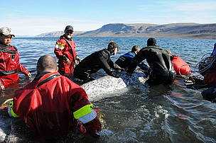 Members of the narwhal tagging team steadily handling and assisting an adult narwhal (Monodon monoceros) back into deeper water after fitting it with a satellite radio transmitter. Left to right: Ronnie Komangapik - Pond Inlet Hunters and Trappers Organisation, James Simonee - Pond Inlet HTO , Jack Orr - Department of Fisheries and Oceans Canada, Clint Wright - Vancouver Aquarium. 08.01.2011