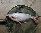 Pangasius, also known as Asian catfish.