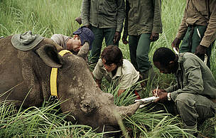 A female northern white rhino is immobilised for radio telemetry. Democratic Republic of Congo. / &copy;: Kes & Fraser Smith / WWF-Canon