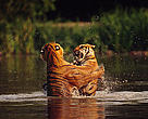 Two India tigers (Panthera tigris tigris) fighting in the water Bangkok Zoo, Thailand