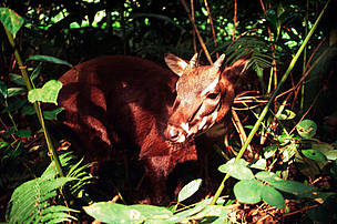 Pseudoryx nghetinhensis - Saola 4 to 5 month old female. An endemic mammal species that made this region well known on its diversity.