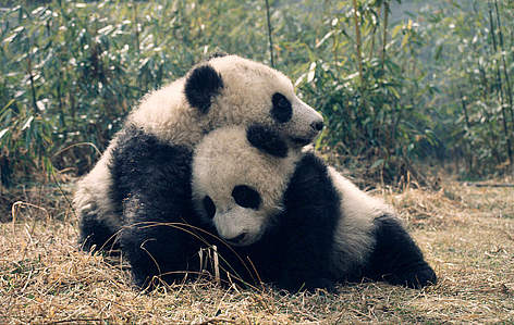 Giant pandas, panda rel=