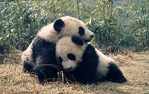 Giant pandas, panda / ©: Susan A. MAINKA / WWF-Canon