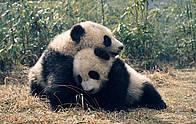 Giant pandas, panda / &copy;: Susan A. MAINKA / WWF-Canon