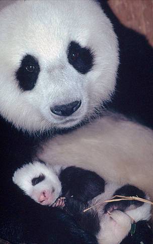 Sichuan Province young offspring newborn mom female panda / ©: Susan A. MAINKA / WWF-Canon