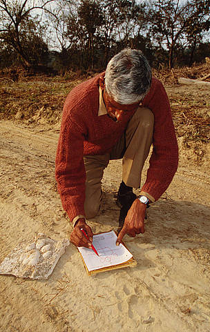 Tracing tiger tracks and pug markers of the Indian tiger (Panthera tigris tigris) Corbett National ... / ©: Martin Harvey / WWF-Canon