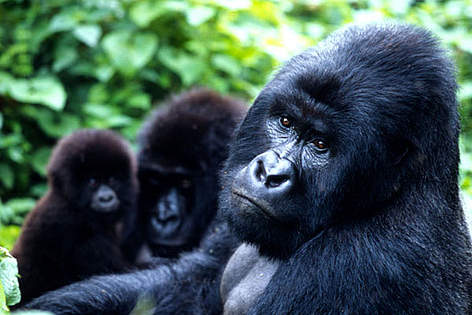 Mountain gorillas, Virunga National Park, Democratic Republic of Congo rel=