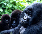 Gorilas de Montaña, Parque Nacional de Virunga, República Democrática del Congo