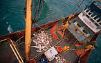 Deep sea fishing: Landing the catch on a deep sea trawler North Atlantic Ocean © Mike R. Jackson / WWF-Canon