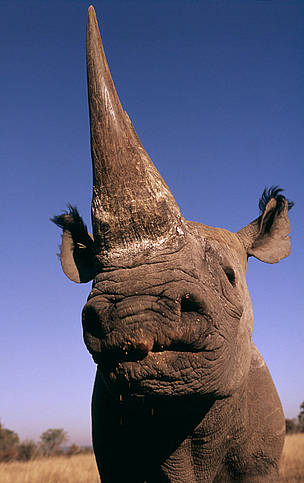 Black rhinoceros (Diceros bicornis)