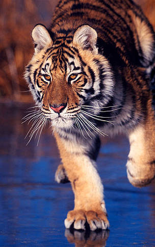 Amur or Siberian tiger (Panthera tigris altaica) on iced lake.