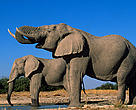 African savanna elephant (Loxodonta africana africana)