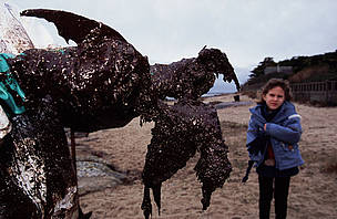 A dead Common guillemot covered in oil from the 'Erika' oil spill. The 'Erika' broke in half in ... / &copy;: Nigel Dickinson / WWF-Canon