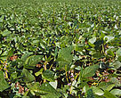 Soybeans (Glycine soja); Paran, Brazil