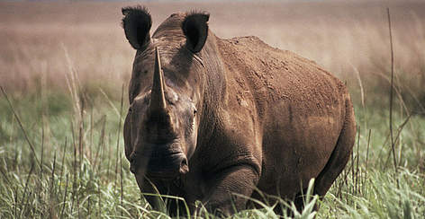 Northern white rhinoceros (Ceratotherium simum cottoni), Garamba National Park, Democratic Republic ... rel=