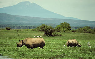 WWF - Black rhinoceros