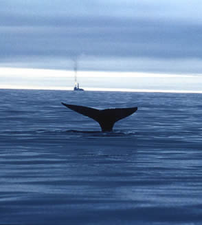 The north-west Pacific gray whale is severely threatened by the development of a major oil and gas ... / ©: Greenpeace / Igor Gavrilov