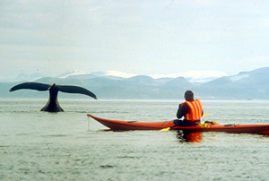 bowhead whale / &copy;: B. Evans / WWF-Canada