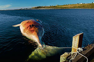 The carcass of a female Northern right whale killed by a ship collision, Nova Scotia, Canada. / &copy;: Brian J. Skerry / National Geographic Stock / WWF