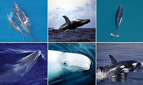 Whales in the Arctic rel=