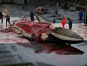 A fin whale is butchered by Icelandic whalers. / &copy;: Jonas Fr. Thorsteinsson