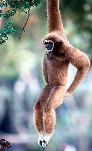 White-handed gibbon (&lt;i&gt;Hylobates lar&lt;/i&gt;), or Lar gibbon. Found in Tropical ... / &copy;: WWF-Canon / Martin HARVEY
